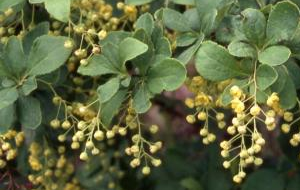 Korean Barberry